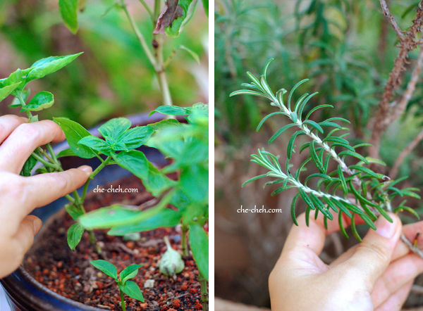 Choose Young Basil & Rosemary Stalks For Cutting