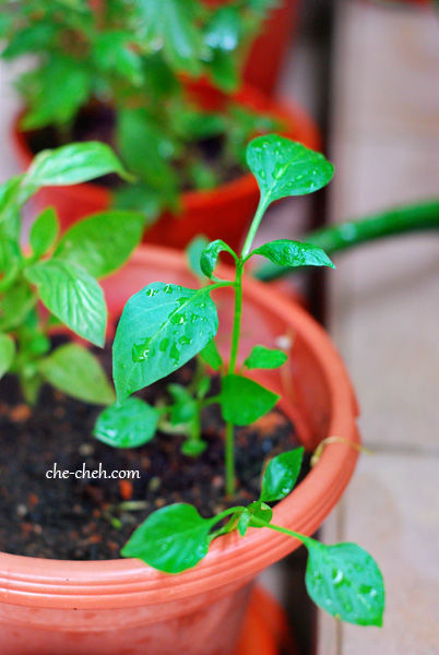 Grow Baby Capsicum Plant From Kitchen Scrap