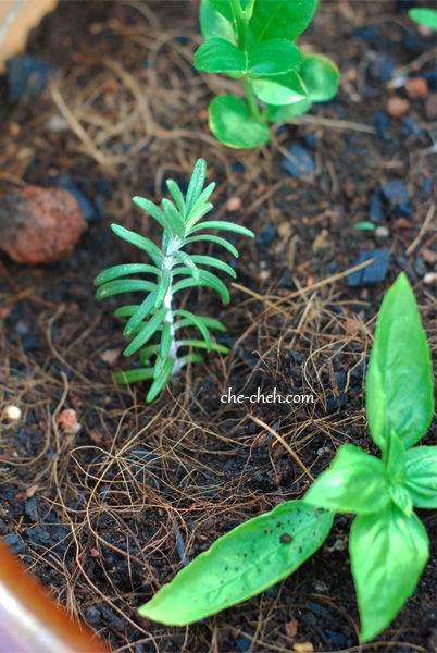 Grow Rosemary & Basil From Cuttings In Malaysia