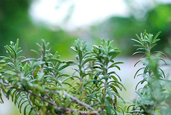 Growing Rosemary In Malaysia