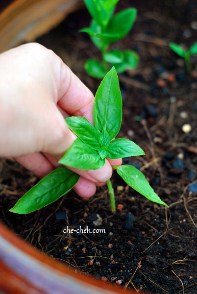 Plant Young Basil Stalk