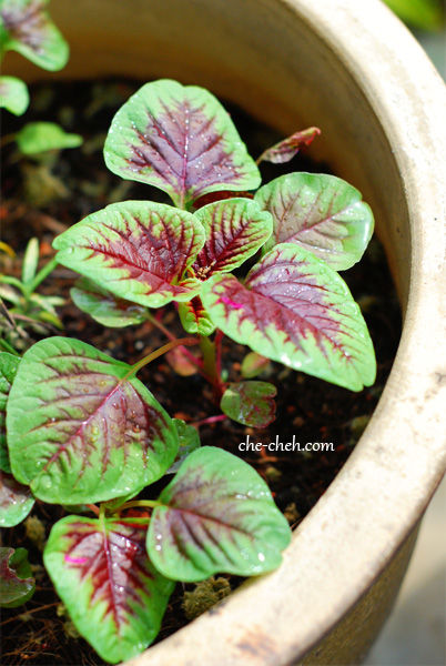 Red Spinach Plant