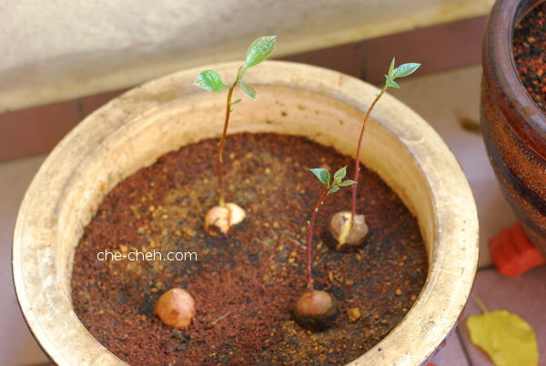 Growing Avocado Trees From Seeds