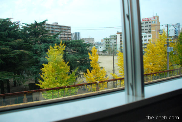 First View Of Ginkgo Trees Seen From JR Kansai Airport Rapid