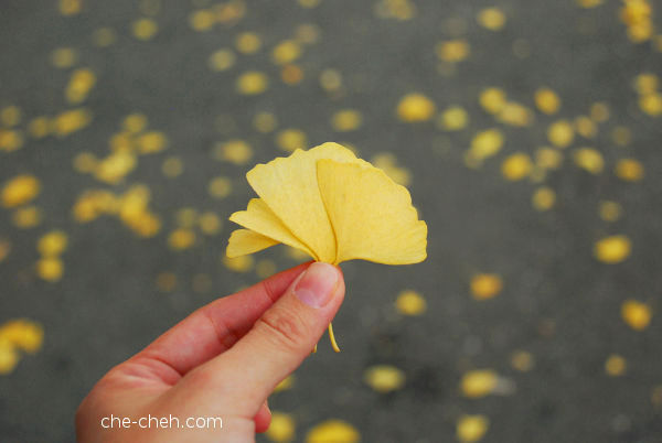 Autumn Gold Ginkgo Leaves @ Osaka