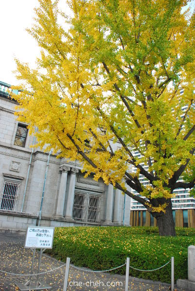 Ginkgo Tree In Front Of Bank Of Japan Osaka Branch @ Osaka
