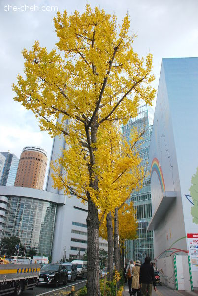 Golden Ginkgo Trees @ Osaka