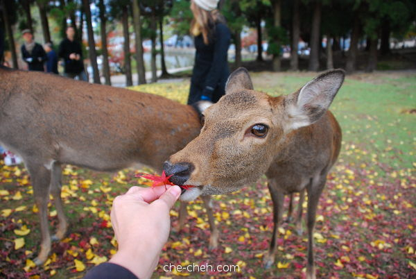 Deer Ate Maple Leaves @ Nara