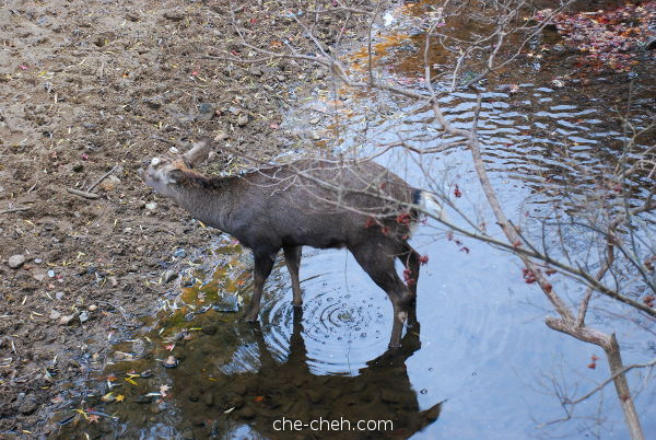 Deer Urinating At The Creek @ Nara Park, Nara