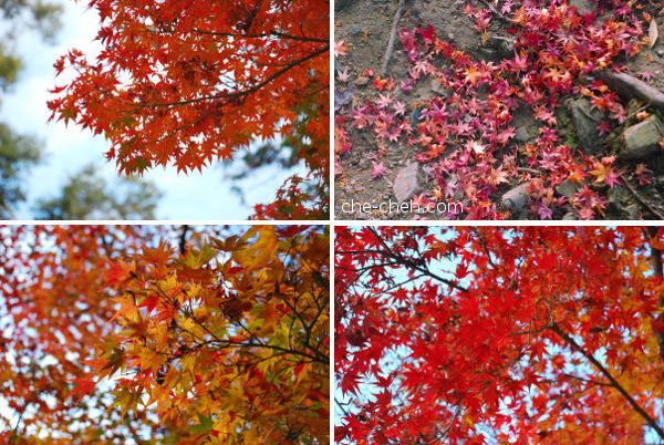 Fall Maple Leaves @ Nara