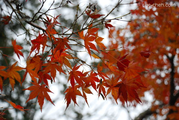 Fall Maple Tree @ Nara