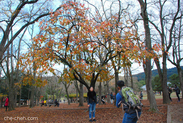 Giant Persimmon Tree @ Nara Park, Nara