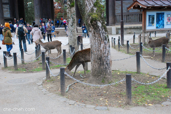 Great South Gate (Nandaimon) & Deers @ Todai-ji, Nara