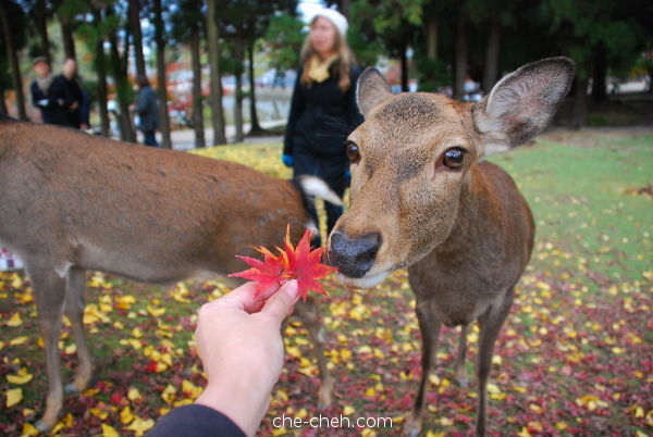 Photographing The Maple Leaves When The Deer Decided To Smell It @ Nara
