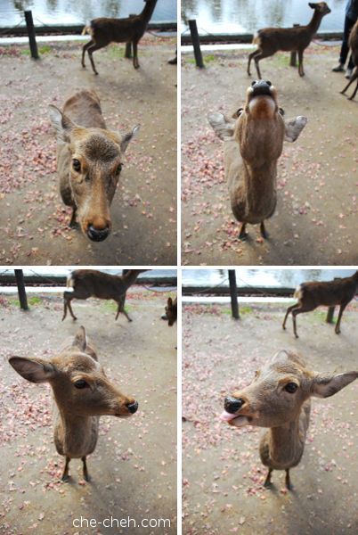 Super Cute Deer @ Nara