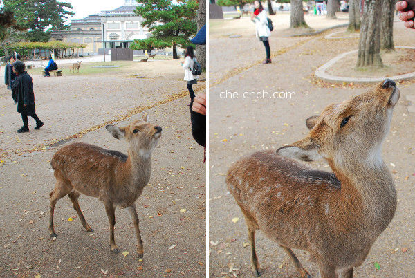 Super Friendly Deers @ Nara