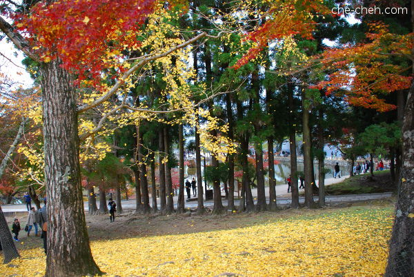 Wind Blowing The Fall Ginkgo Leaves @ Nara