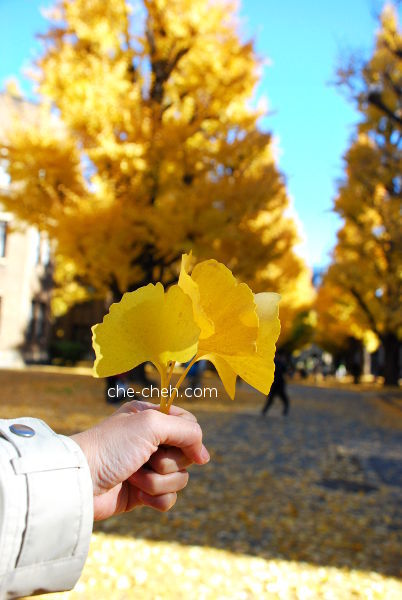 A Bouquet Of Golden Ginkgo Leaves @ University Of Tokyo, Tokyo