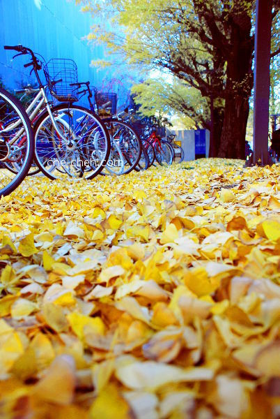 Bicycles & Fallen Ginkgo Leaves @ University Of Tokyo, Tokyo