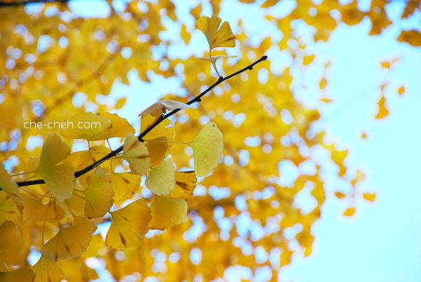 Golden Ginkgo Leaves @ University Of Tokyo, Tokyo