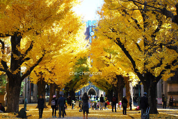 Heavenly Golden Ginkgo Trees Lined The Road Towards Yasuda Auditorium @ University Of Tokyo, Tokyo