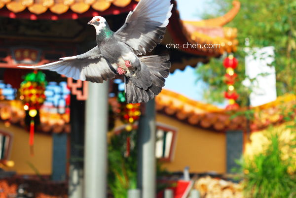 Flying Pigeon @ Kuan Yin Temple, Klang